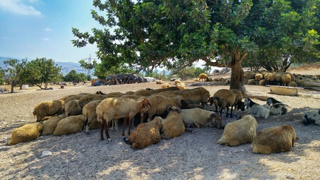 Sheep flock rests in a tree shade