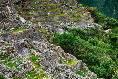 Alpacas at Machu Picchu in Peru. Lost City of Incas. Stock Photo