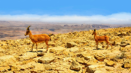 Ibexes in desert