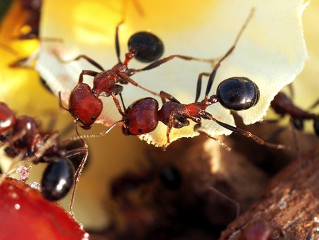 Two red ants in sunny day. Macro shooting. Stock Photo