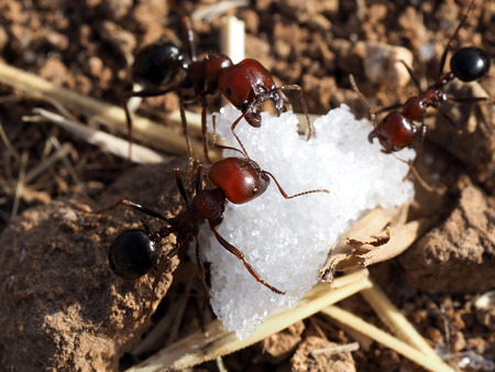 Ants found sugar and take it to their nest. Macro shooting.