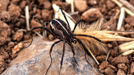 Big black spider with white stripe on his back. Stock Photo