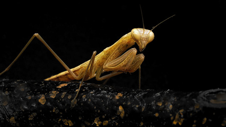 Yellow Praying Mantis on a black background. Macro shooting.