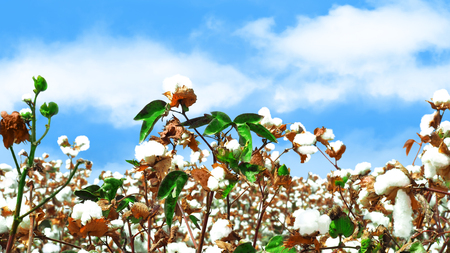 White fluffy ripe cotton on blue sky background.