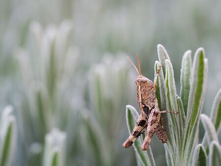 Big grasshopper on rosemary. Blurred background, artistic photo for design.