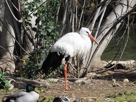 White stork stands next to a lake in the company of ducks. Фото со стока