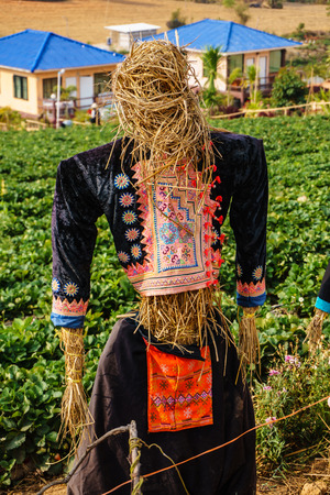 chaff: A man scarecrow on farm Strawberry make from chaff