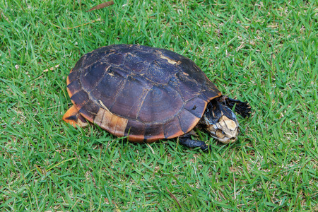 carrion: Carrion turtle , turtle deaths