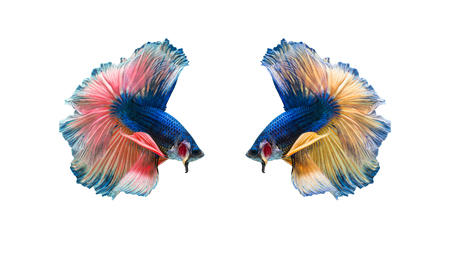 closeup beautiful fighting siam betta fish with isolate background