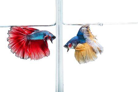 closeup beautiful fighting siam betta fish in aquarium 版權商用圖片