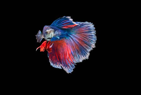 closeup beautiful small siam betta fish with isolate background