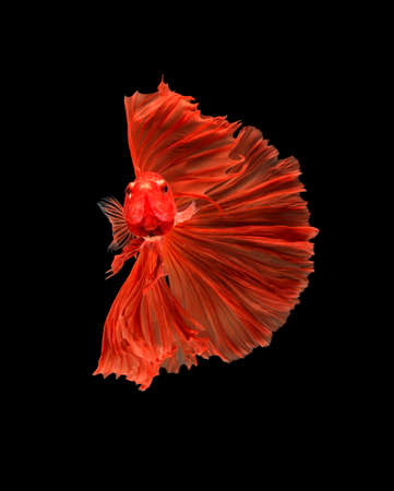 macro the beautiful small siam betta fish with black isolate background