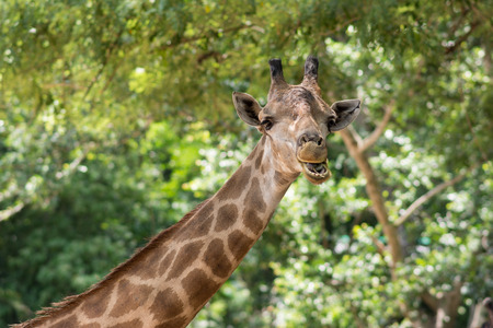 Giraffe in Khao Kheow Open Zoo, Thailand Stock Photo