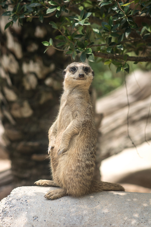 Slender-tailed Meerkat in Khao Kheow Open Zoo, Thailand Stock Photo
