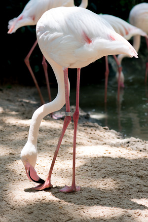Flamingo in Khao Kheow Open Zoo, Thailand
