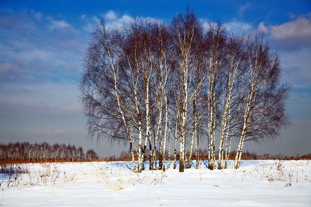 winter birch trees Stock Photo - 4812032