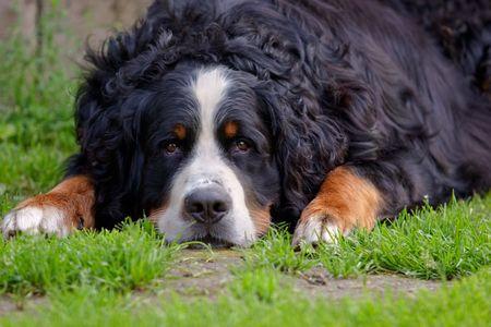 bernese mountain dog lying on the grass Standard-Bild