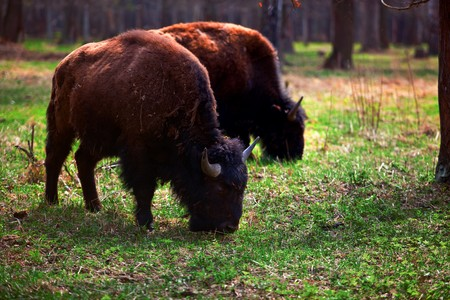a family of bison in the wild national park photo