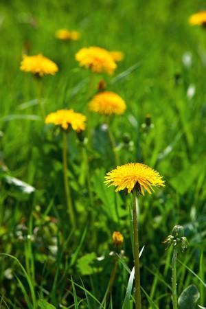 dandelions in the meadow Stock Photo - 8034619