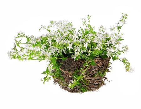 Zusammensetzung der kampanula Blumen Standard-Bild - 13757723