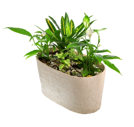 indoor plant in a pot Standard-Bild