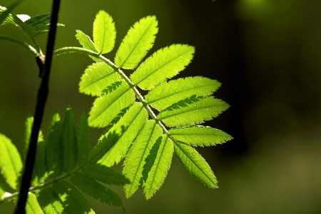 rowan tree: Rowan leaves in the morning dew