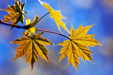 maple leaves Stock Photo - 13757737