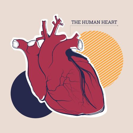 Vector illustration of an anatomical heart