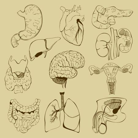Vector set of relationship between human internal organs
