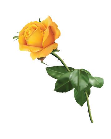 Belle rose jaune isolé sur le fond blanc. Banque d'images - 50998808