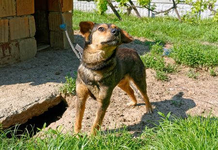 kennel: Cute lonely dog on a chain by the dirty kennel. Stock Photo