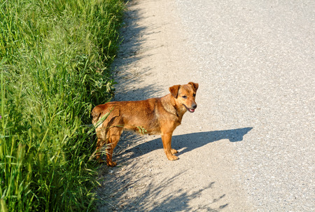 animal cruelty: Cute female stray dog standing on the road.