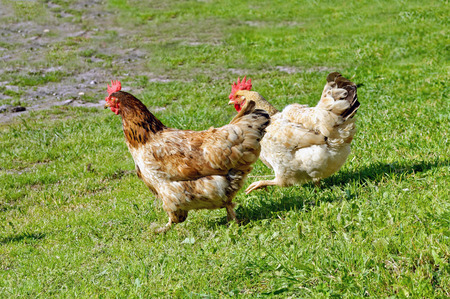 cluck: Two free range chickens running on the grass at organic farm.