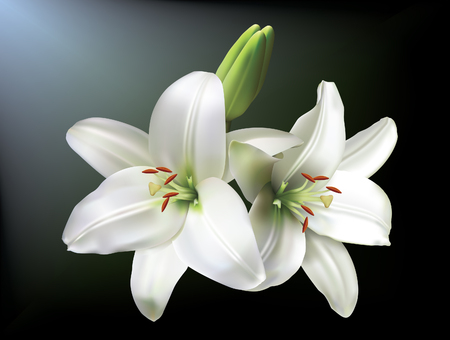 White lilies isolated on a dark background. Illustration