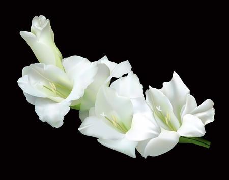 stamen: Beautiful white gladiolus isolated on a black background