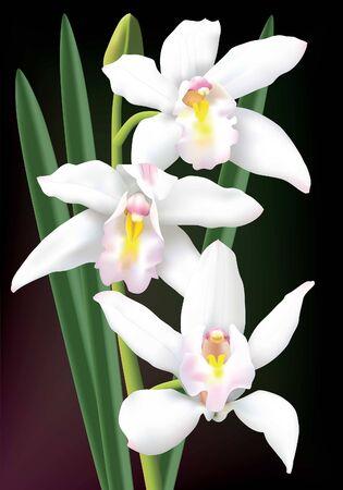 Beautiful white cymbidium orchids isolated on a dark background