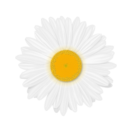 Isolated realistic daisy  chamomile  flower  Vector