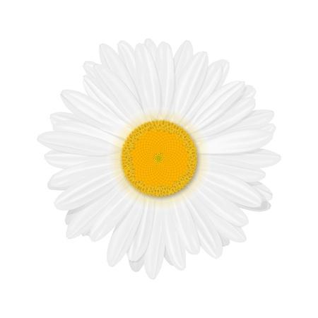 marguerite: Isolated realistic daisy  chamomile  flower  Illustration