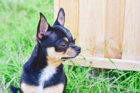 Chihuahua dog on the background of greenery and wood. portrait of a Chihuahua on the background of summer greenery. Small breed of dog of black and koroichnevovo-white color. Cheeky and brutal dog.