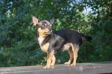 Chihuahua is sitting on the bench. Pretty brown chihuahua dog standing and facing the camera. chihuahua has a cheeky look. The dog walks in the park. Black-brown-white color of chihuahua.Chihuahua dog