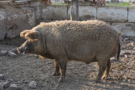 Happy pig rolling in mud.Mangalitsa The Woolly Sheep-Pig, healthy environment and organic food production.Domestic pigs feeding in mud.Mangalitsa in sand.Free-range, outdoors, they have a decent life 版權商用圖片