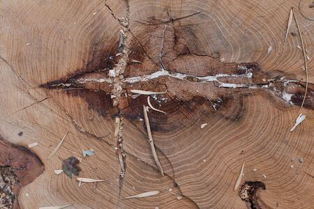 Termites running through tunnels and eating wood,wood with termites damage.Wood cutaway background.Cut tree. Photo as a background or texture of a tree. Cross section of the tree.