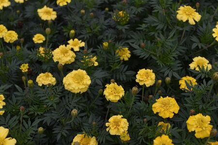 Mexican marigold yellow flowers panning to the meadow in summer. Yellow marigold flowers. Yellow flowers in autumn and summer in the park. Beautiful persistent flowers. Floral background. Nature