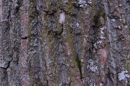 Background of tree bark. The texture of the old trees. A series of photographs with bark of trees. Background for tree bark designers. Trees in the daylight bark. Photos of trees with moss and without Foto de archivo - 130044126