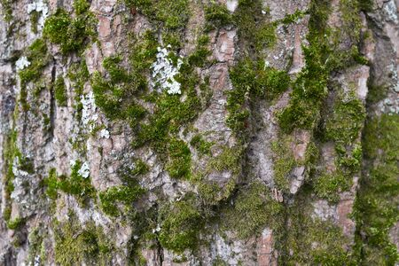 Background of tree bark. The texture of the old trees. A series of photographs with bark of trees. Background for tree bark designers. Trees in the daylight bark. Photos of trees with moss and without Foto de archivo - 130044135