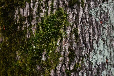 Background of tree bark. The texture of the old trees. A series of photographs with bark of trees. Background for tree bark designers. Trees in the daylight bark. Photos of trees with moss and without Foto de archivo - 130044141