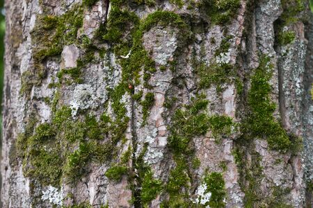 Background of tree bark. The texture of the old trees. A series of photographs with bark of trees. Background for tree bark designers. Trees in the daylight bark. Photos of trees with moss and without Foto de archivo - 130044143
