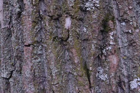 Background of tree bark. The texture of the old trees. A series of photographs with bark of trees. Background for tree bark designers. Trees in the daylight bark. Photos of trees with moss and without Foto de archivo - 130044975