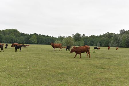 Cows Volyn meat, limousine, abordin.Rural composition. Cows grazing in the meadow. A series of photographs of a black and red cow are grazed.Summer landscape with cows. Calves eat grass.Farm