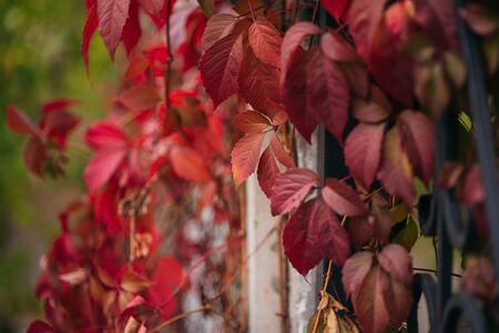 Red leaves on a sunny day early autumn. Red leaves on against the sky, Autumn theme. Fall again. Yellow-green foliage on trees in September. Background for designers autumn colors. Park and autumn Stok Fotoğraf